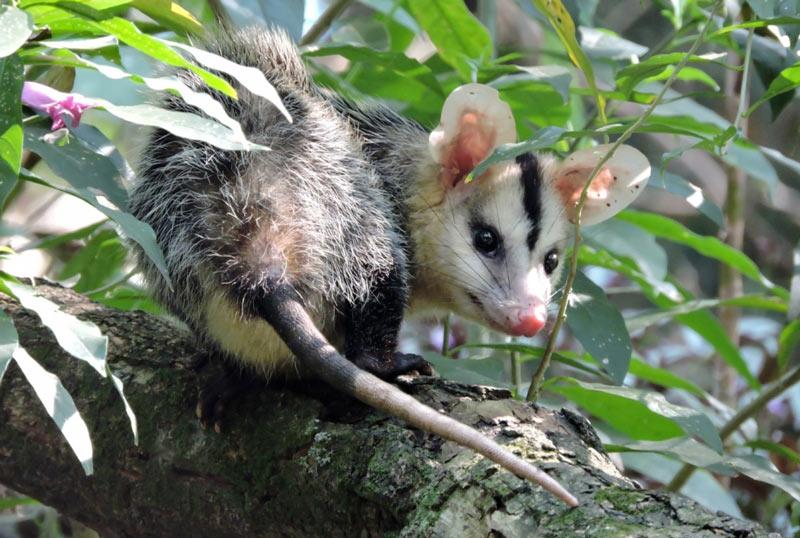 Животные Южной Америки: белобрюхий опоссум