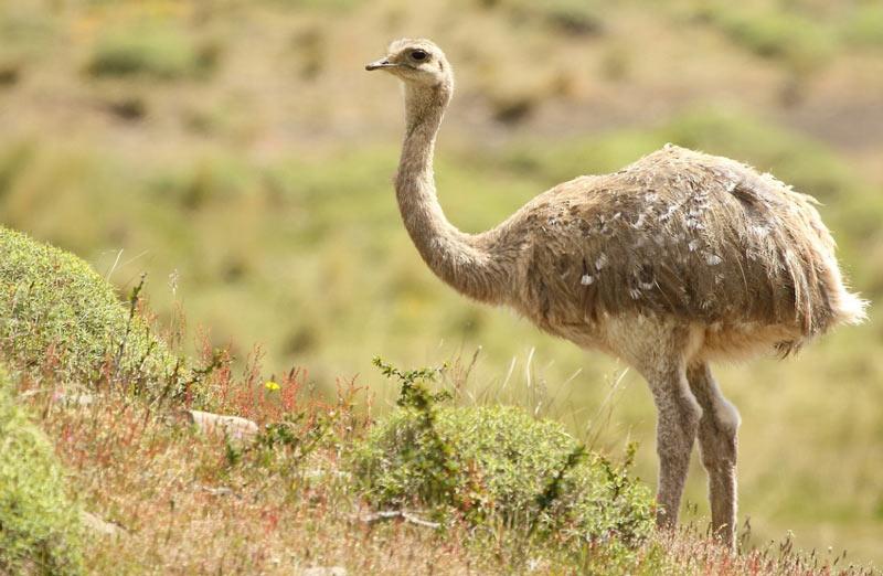 Животные Южной Америки: дарвинов нанду