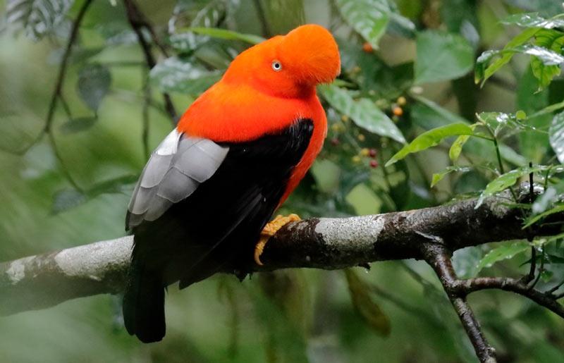Животные Южной Америки: скальный петушок