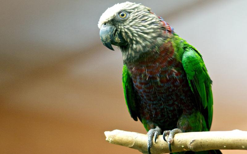 Животные Южной Америки: веерный попугай
