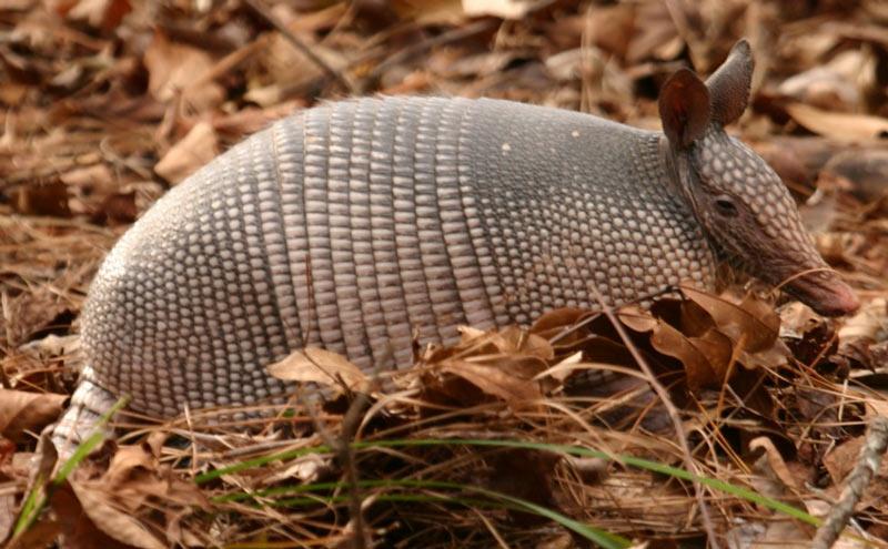 Животные Южной Америки: броненосцы