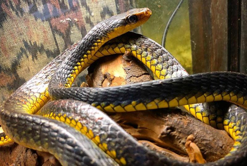 Животные Южной Америки: древесный уж
