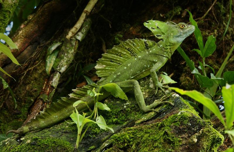 Животные Южной Америки: шлемоносный василиск