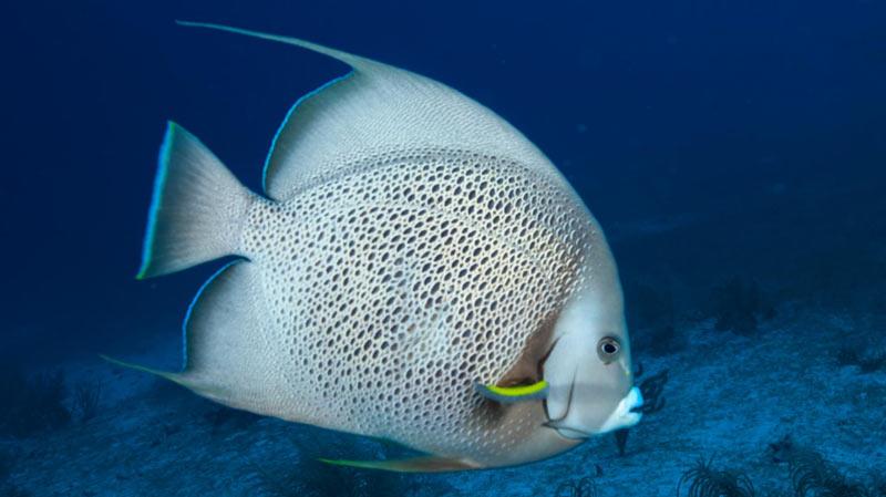 Животные Южной Америки: серая рыба-ангел