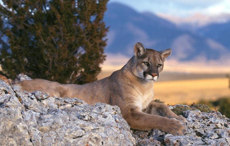 Животные Южной Америки: горный лев