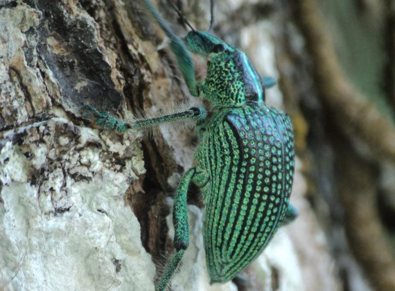Животные Южной Америки: бриллиантовый жук