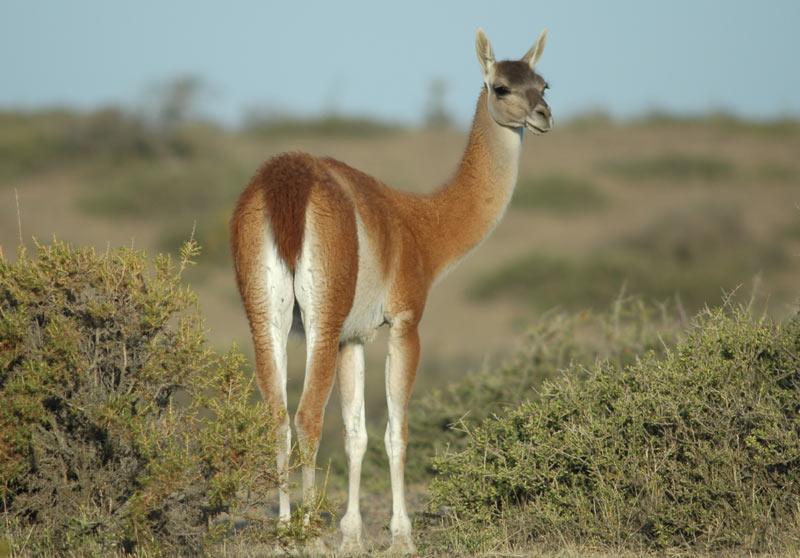 Животные Южной Америки: гуанако