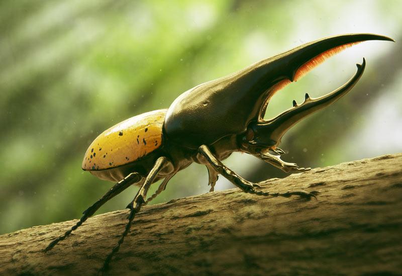 Животные Южной Америки: жук-геркулес