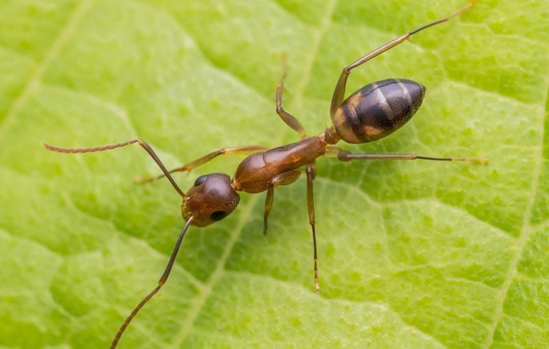 Животные Южной Америки: аргентинский муравей