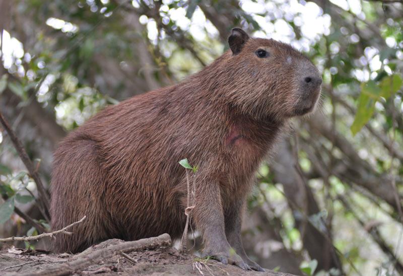 Животные Южной Америки: капибара
