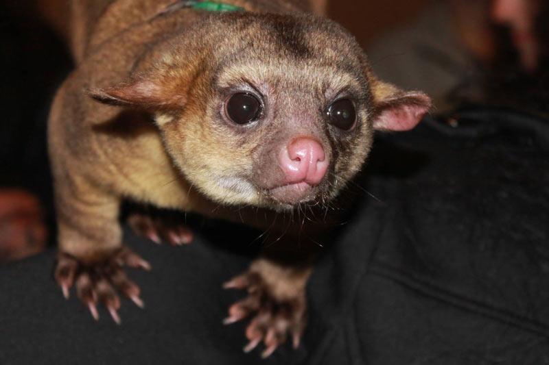 Животные Южной Америки: кинкажу