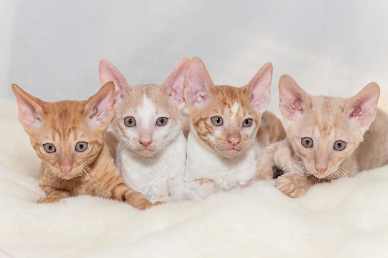 Перспективный котенок корниш-рекса, должен иметь «флоковую» шерстку