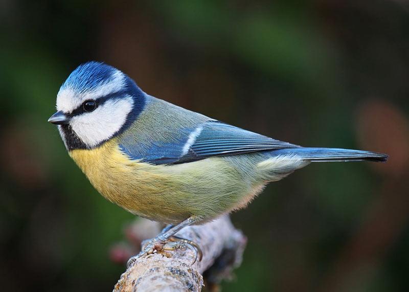 Чтобы не упасть с веток при поисках корма, насекомоядные лесные птицы используют длинные пальцы с острыми коготками