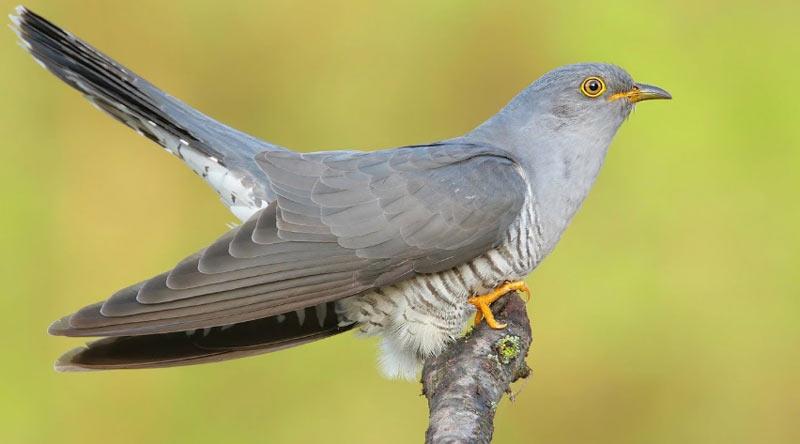 Лесные птицы: Кукушки