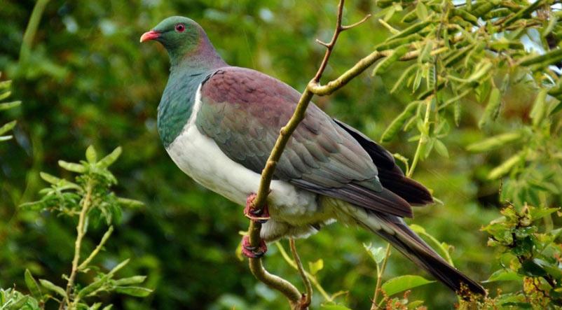 Лесные птицы: Новозеландский голубь