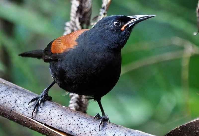 Лесные птицы: Гуйи
