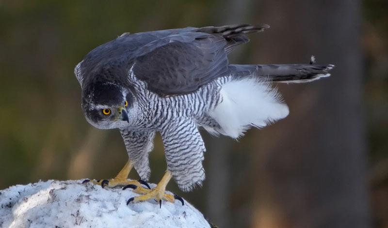 Лесные птицы: Ястреб-тетеревятник