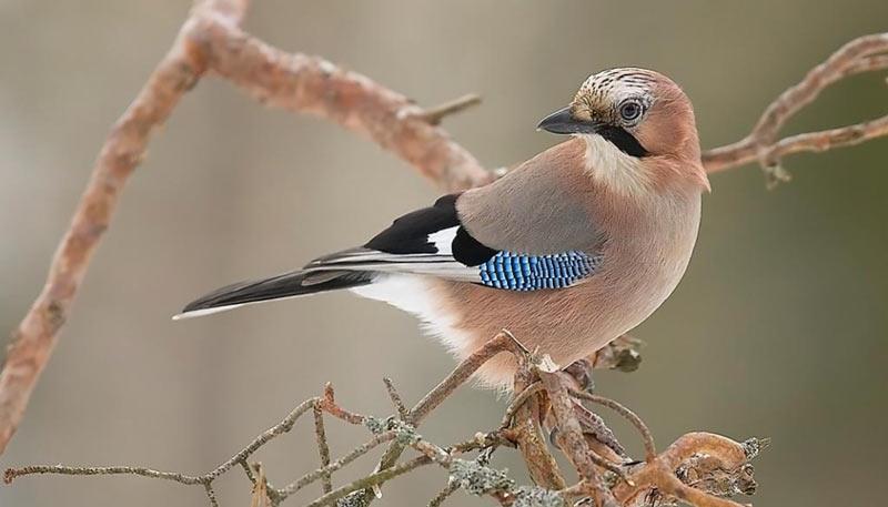 Лесные птицы: Сойка