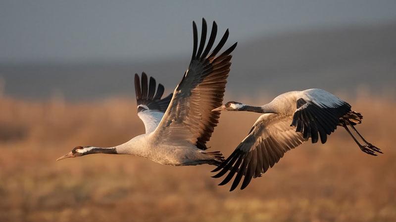 Большинство крупных видов сбиваются в стаи по 12–20 птиц, напоминающие V-образный клин