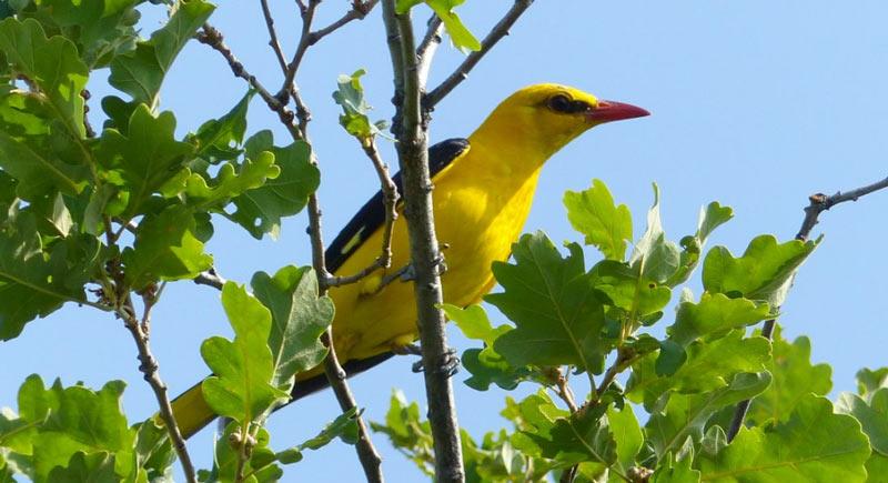 Лесные птицы: Обыкновенная иволга