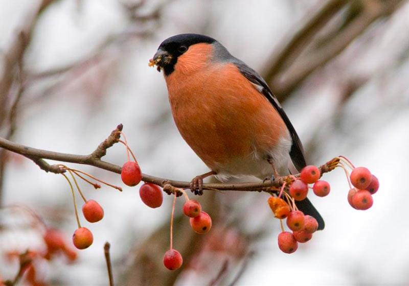Сезонные высотные перемещения и длинные миграции характерны для лесных птиц, обитающих в Гималаях и Андах
