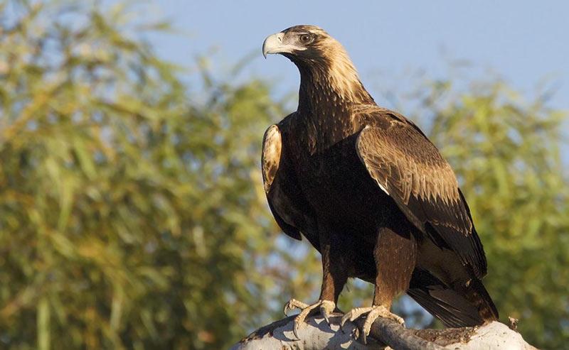 Лесные птицы: Клинохвостый орёл