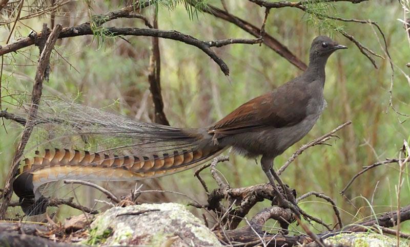 Лесные птицы: Большая птица-лира