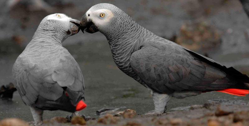 Виды попугаев: Жако