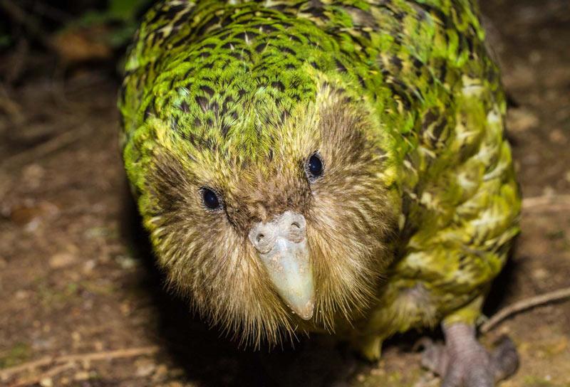 Виды попугаев: Какапо