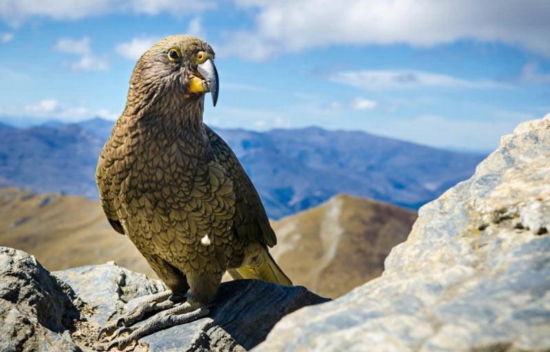 Виды попугаев: Кеа
