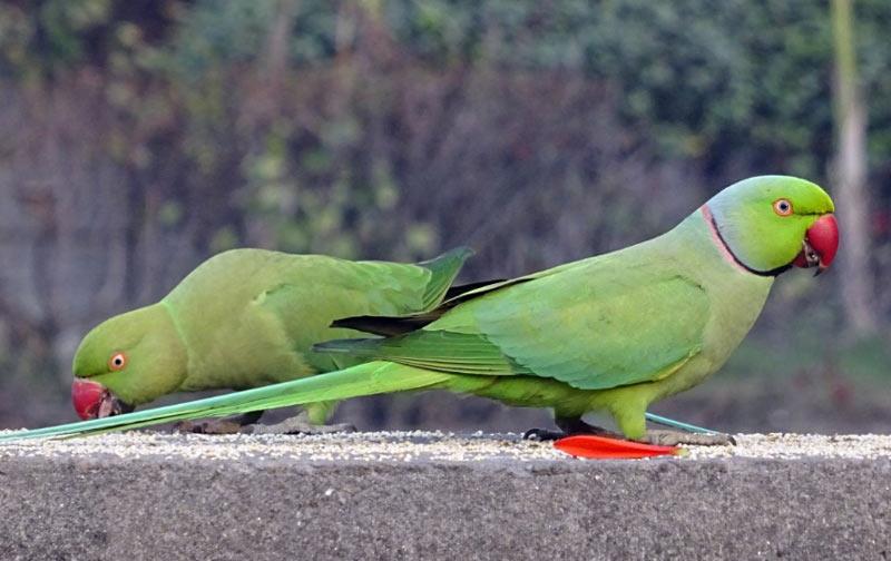Виды попугаев: Кольчатый попугай