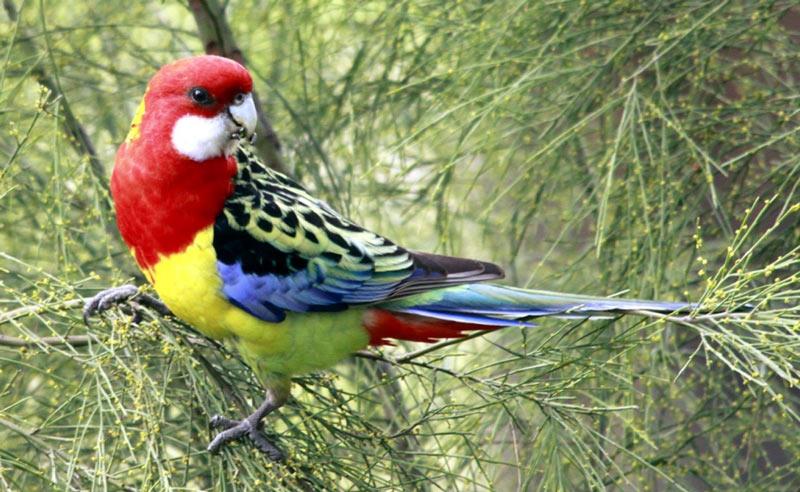 Виды попугаев: Розелла