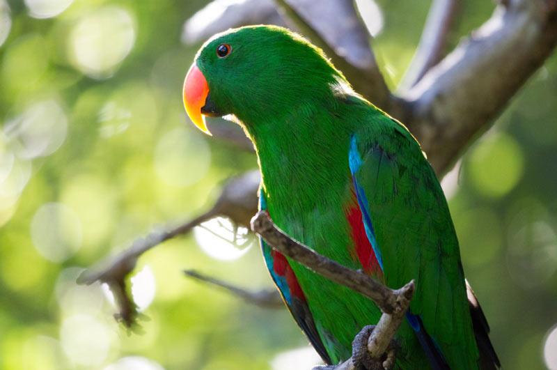 Виды попугаев: Эклектусы
