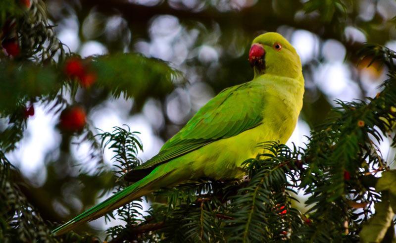 Здоровое и сильное потомство формируется от пар птиц, принадлежащих к разным семьям
