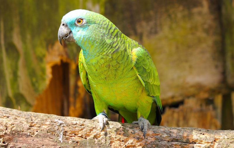 Виды попугаев: Амазон