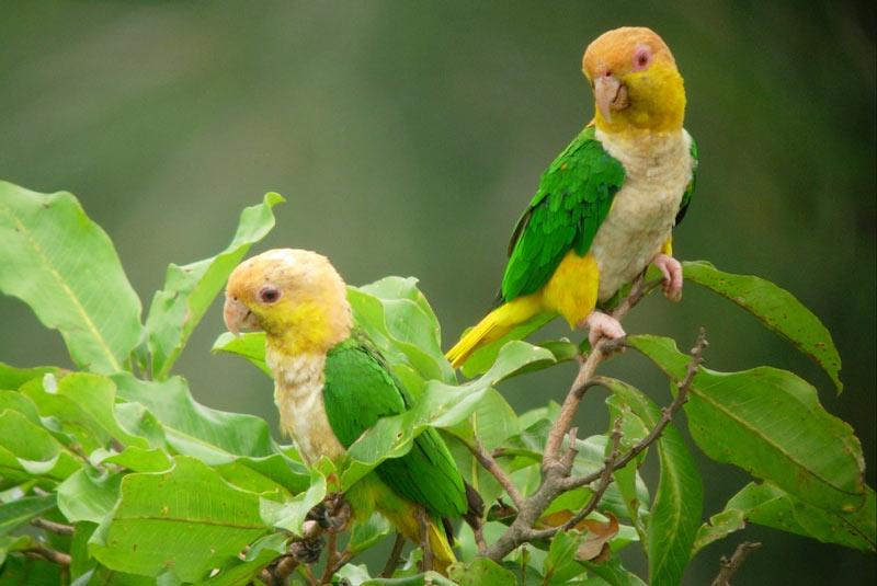 Виды попугаев: Белобрюхий попугай