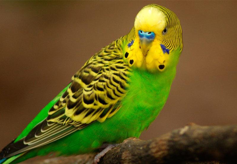 Виды попугаев: Волнистый попугай