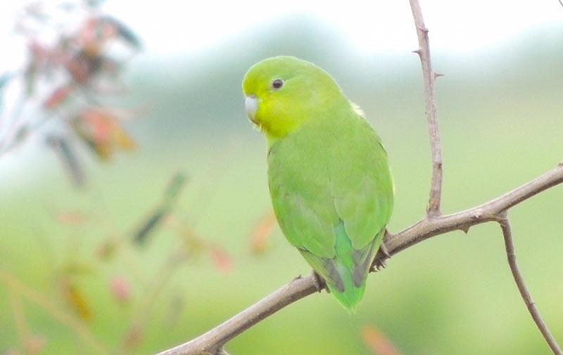 Виды попугаев: Воробьиный попугай