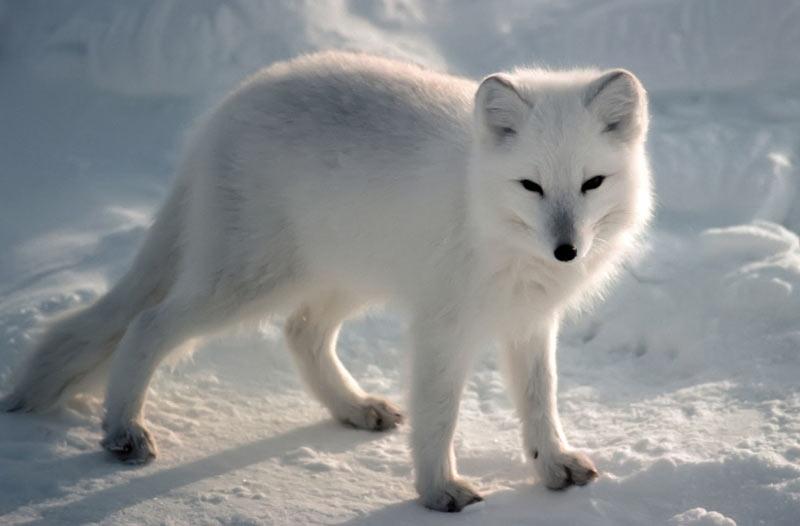 Животные севера: Песец, или полярная лисица