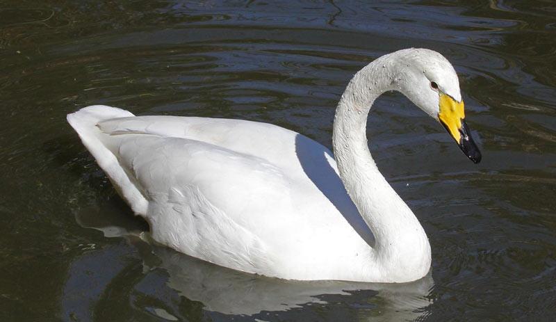 Животные севера: Лебедь-кликун