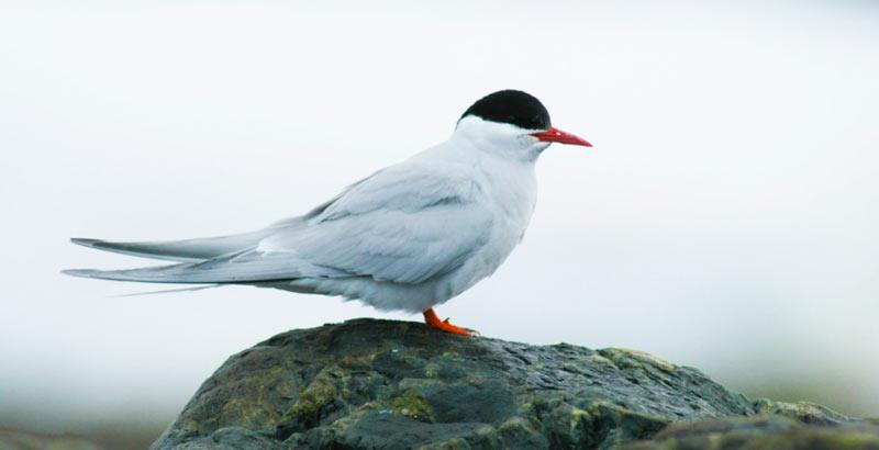 Животные севера: Антарктическая крачка