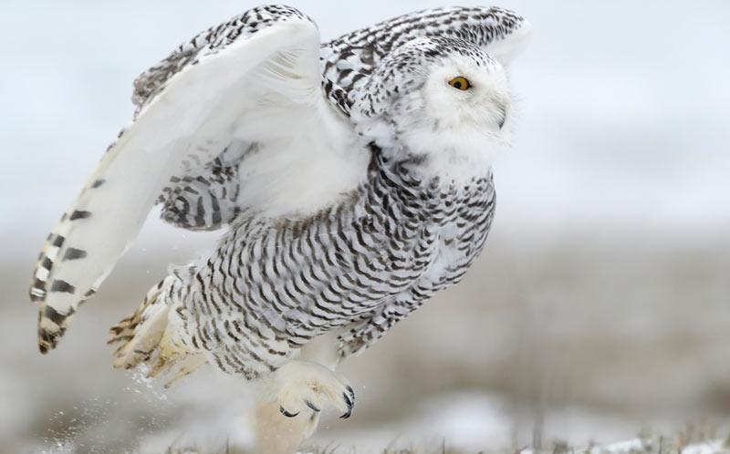 Животные севера: Белая, или полярная сова