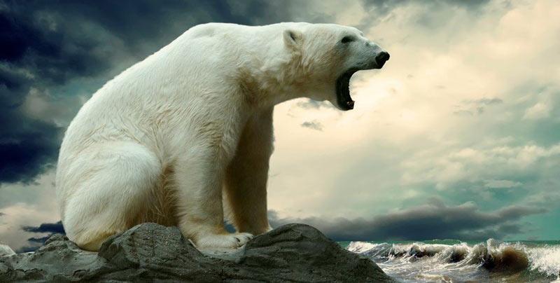 Животные севера: Белый, или полярный медведь