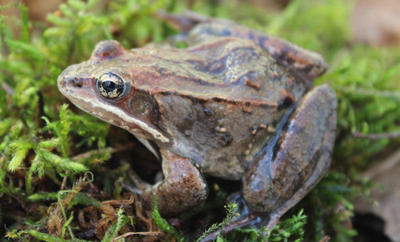 Животные севера: Древесная лягушка