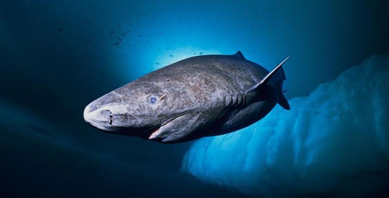Животные севера: Полярные акулы