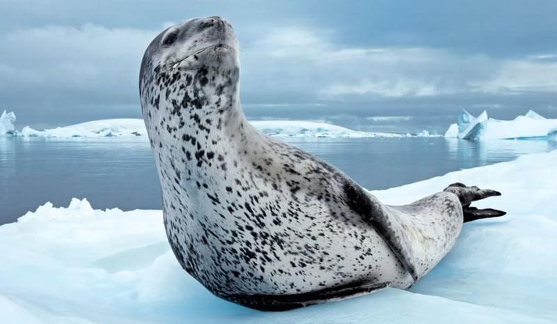 Животные севера: Морской леопард