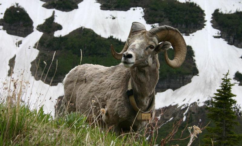 Животные севера: Снежный баран, или чубук