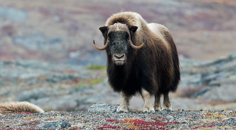 Животные севера: Овцебык