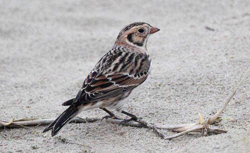 Животные тундры: Лапландский подорожник