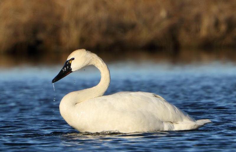 Животные тундры: Тундровый лебедь